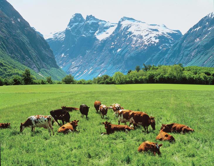 Kyr på beite i fjellet